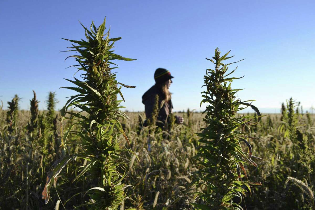 A woman stands in a hemp field at a farm in Springfield, Colo. Colorado, Oregon and Vermont are the only states that allow farmers to grow hemp under state supervision.
