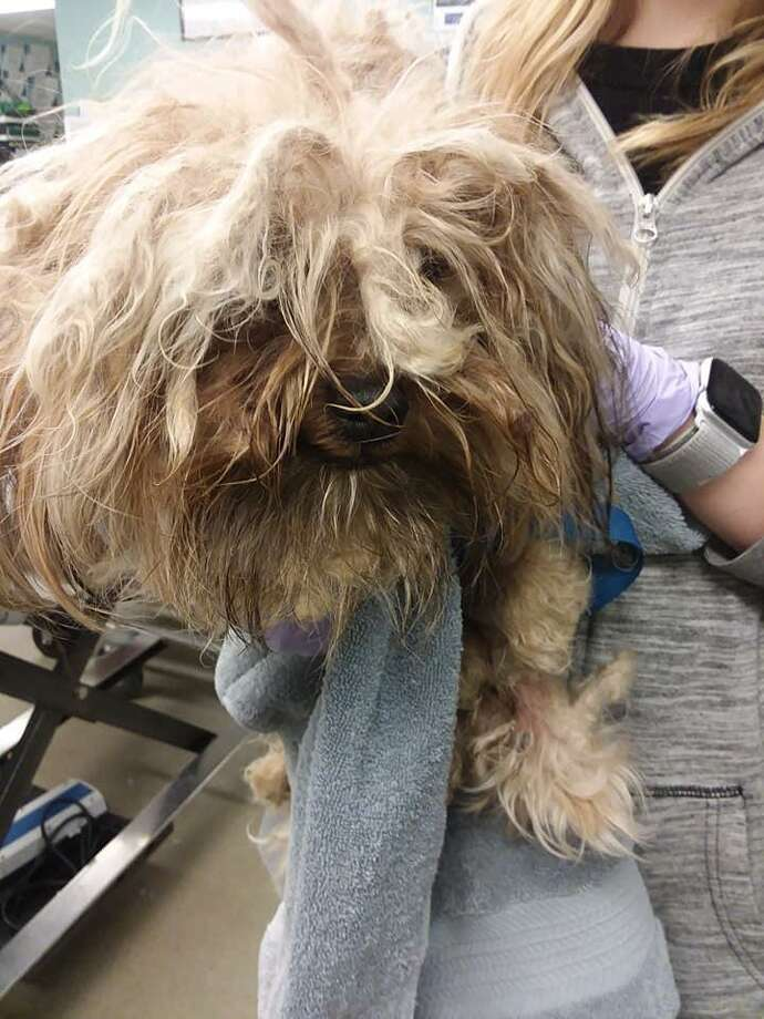 The Manchester Animal Control Office has impounded eight to 10 small dogs in the past eight months, leading officials to believe that someone in the area is breeding the dogs, a post from their Facebook page said. The dogs are being found extremely matted and sometimes must be sedated to be properly groomed, authorities said. Photo: Manchester Animal Control Office Photo