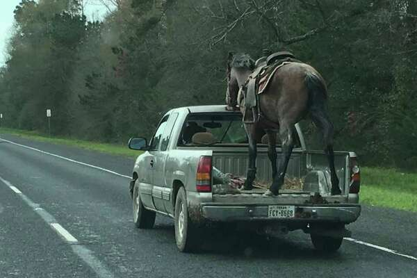 Bed Of A Truck >> Driver Who Hauled Horse In Bed Of Pick Up Truck Could Face Charges