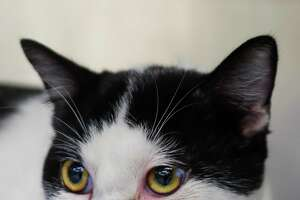 Oscar is a 2-year-old, male, Domestic Shorthair mix and is ready to be adopted from BARC Animal Shelter. (Animal ID: A1614688) Photographed Tuesday, March 12, 2019, in Houston. Oscar is a little bit shy, but after he hears his name, he likes to chat with you! He has an adorable underbite. He's a must-see.