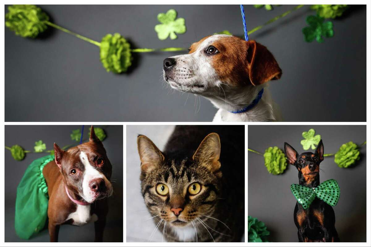 Cats and dogs that are available to be adopted from BARC Animal Shelter, 3300 Carr Street, Houston, 77026. Photographed Tuesday, March 12, 2019, in Houston.