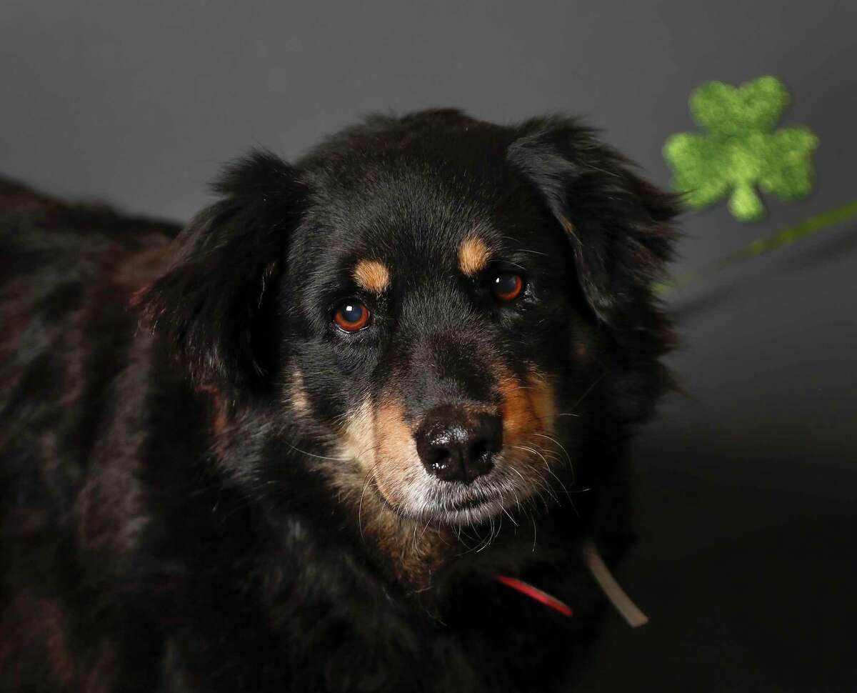Maggie is a 8-year-old, female, Austrailian Shepherd/Collie mix and is ready to be adopted from BARC Animal Shelter. (Animal ID: A1612843) Photographed Tuesday, March 12, 2019, in Houston. Maggie is a senior dog, who has been living most of her life on the street. She has a very shy, but mellow and sweet disposition. She is loyal and loving.