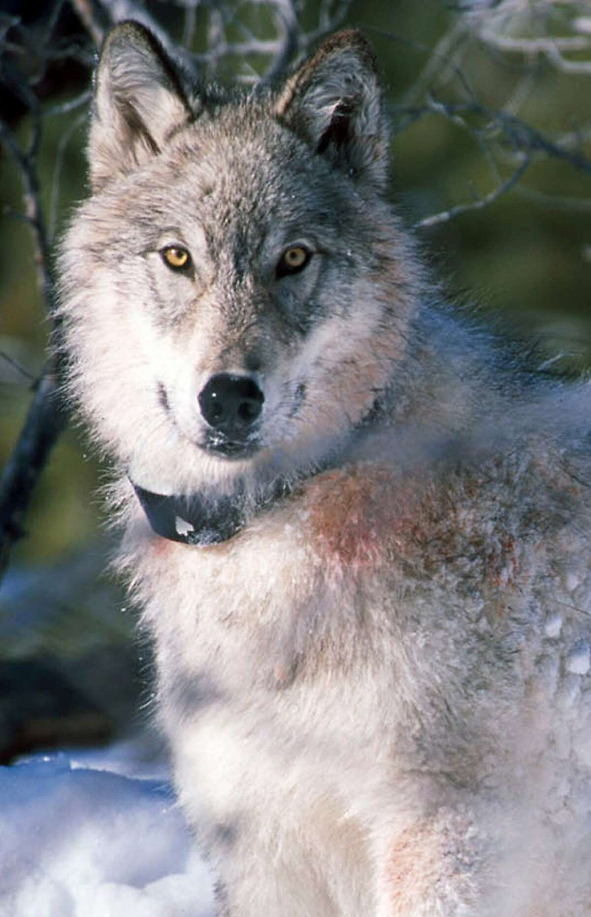 A gray wolf pauses in Yellowstone National Park in Wyoming after being fitted with a radio collar, Jan. 9, 2003.