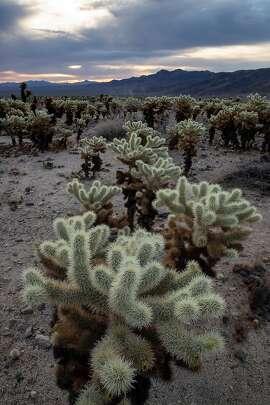 Cholla cactus in the Cholla Garden in Pinto Basin area of Joshua Tree National Park, Calif., on November 20, 2018. (Brian van der Brug/Los Angeles Times/TNS)