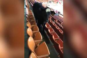 On Monday, a yearling heifer wandered into the stands at NRG Arena.
