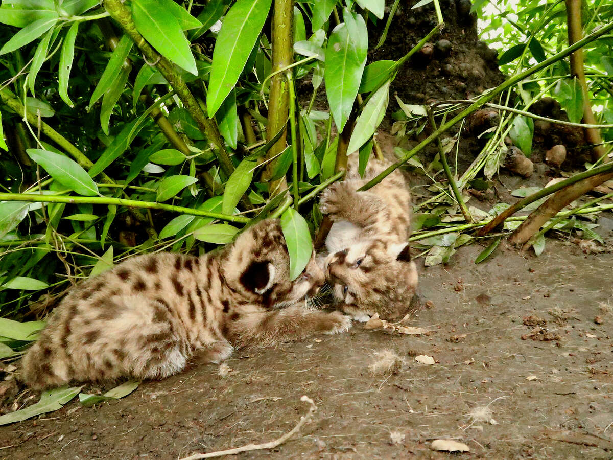 Two mountain lion kittens were born in the Trione-Annadel State Park this past February, to a 3.5-year-old mountain lion.