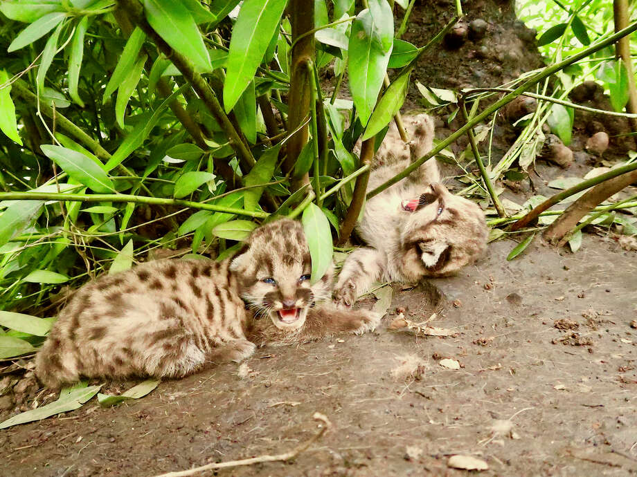 Two mountain lion kittens were born in the Trione-Annadel State Park this past February, to a 3.5-year-old mountain lion. Photo: Courtesy ©Audubon Canyon Ranch / Quinton Martins