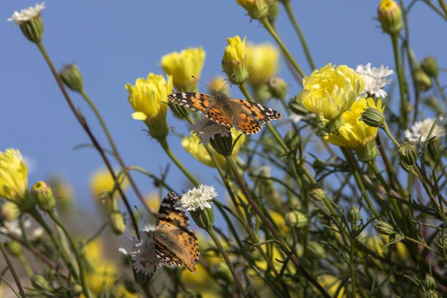 Painted lady butterflies pause to feed on the nectar of California's second 'super bloom' in two years during a rare mass migration triggered by recent abundant rainfall on March 9, 2019 near Thousand Palms. Photo: David McNew/Getty Images