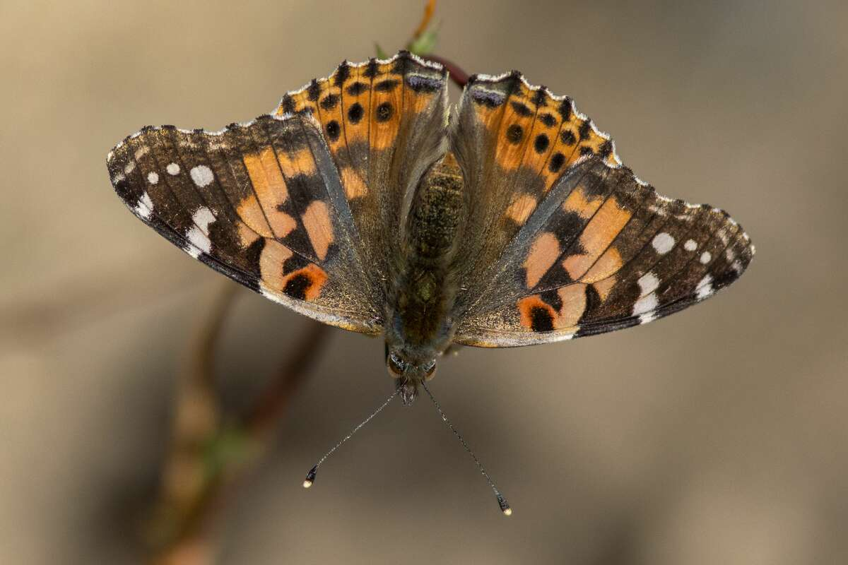 THOUSAND PALMS, CA - MARCH 09: Painted lady butterflies pause to feed on the nectar of California's second 'super bloom' in two years during a rare mass migration triggered by recent abundant rainfall on March 9, 2019 near Thousand Palms, California. A wet winter with a possible link to the El Niño climate pattern fueled vegetation growth in northern Mexico, giving painted lady caterpillars an abundant food supply and causing millions of the resulting butterflies to embark on a one-way migration to the Northwest and Canada. The butterflies are expected to pass through the region for just a few weeks. (Photo by David McNew/Getty Images)