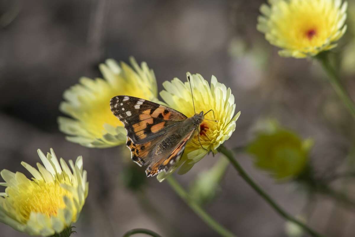 Painted lady butterflies pause to feed on the nectar of California's second 'super bloom' in two years during a rare mass migration triggered by recent abundant rainfall on March 9, 2019 near Thousand Palms, California.