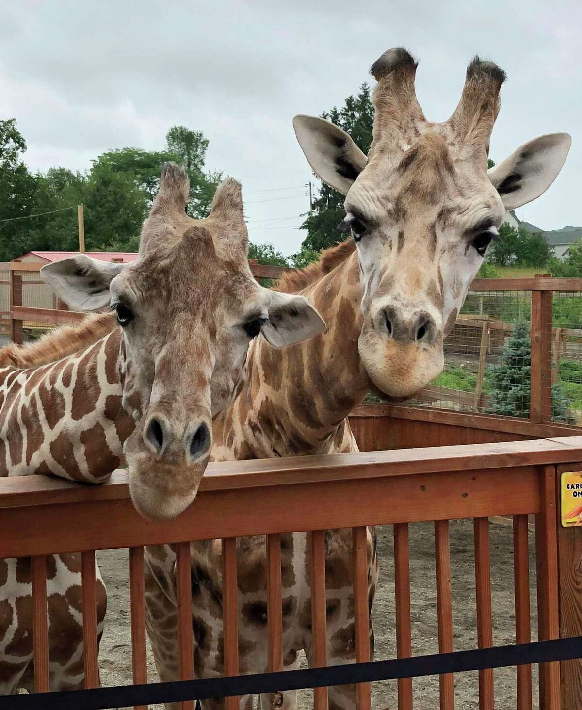 April the giraffe's most recent calf, Azizi, died unexpectedly on Tuesday due to a condition discovered following treatment for parasites.