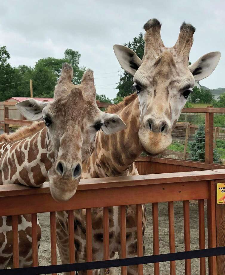 In this July 25, 2018 photo provided by Animal Adventure Park, April and her mate, Oliver, look over the railing of a pen at Animal Adventure Park in Harpursville, N.Y. April is pregnant again and the staff at Animal Adventure Park believe that she can give birth at any moment. (Animal Adventure Park via AP) Photo: Animal Adventure Park Via AP / Animal Adventure Park