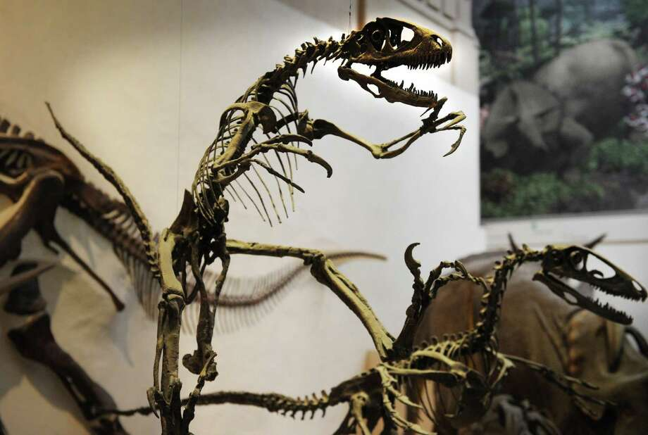 "A Deinonychus, or ""terrible claw"", carnivorous dinosaur, is displayed in its proper habit, with tail raised as a counterbalance, at the Peabody Museum in New Haven on Wednesday, January 30, 2013. Photo: Brian A. Pounds / Brian A. Pounds / Connecticut Post"