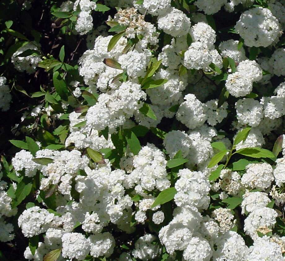 Prune spirea every two to three years in late winter or early spring. Photo: JERRY M. PARSONS