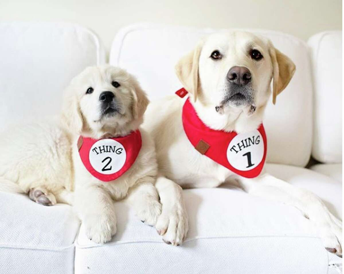Your Pal Cal and Baby Sam IG: @calvin.thecanine Breeds: Labrador Retriever (Cal, pictured right); Golden Retriever (Sam, pictured left) # of followers: 51.6K