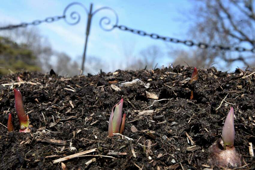 Tulip bulbs begin to emerge from the flowerbeds in Washington Park as area temperatures begin to rise on Thursday, March 14, 2019, in Albany, N.Y. (Will Waldron/Times Union)
