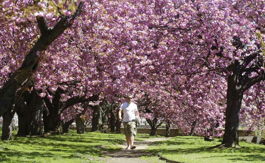 In May 2007, Bartek Kurpiecki is surrounded by the cherry trees in full bloom. The trees were cut down in March 2009. Photo: Kathleen O'Rourke / ST / 00002947A