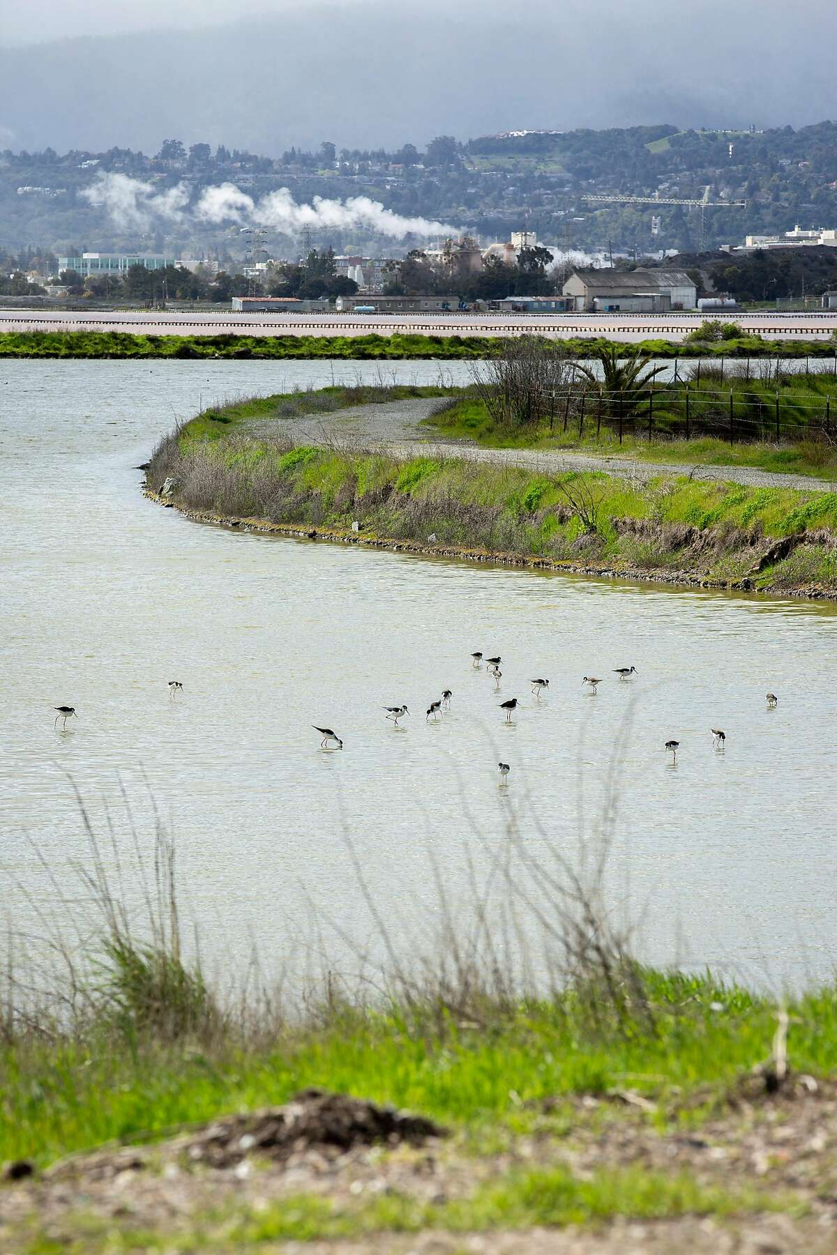 Birds at the Cargill property near the salt ponds on Tuesday, March 12, 2019, in Redwood City, Calif.