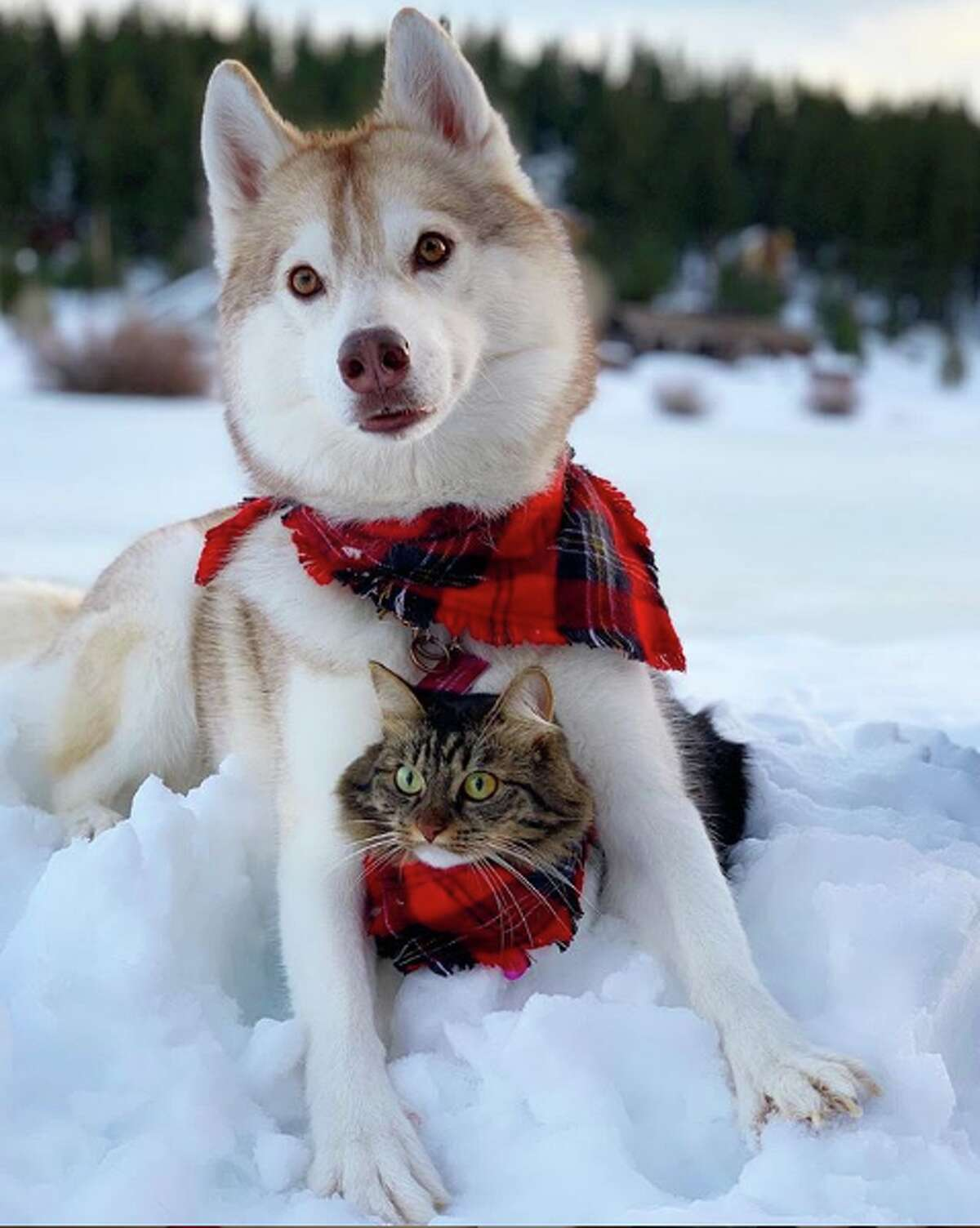 Lilo and Rosie IG: @lilothehusky Breeds: Husky and unknown (possibly a Maine Coon Mix) # of followers: 504K