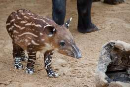 Female Baird's tapir born at Houston Zoo March 4, 2019