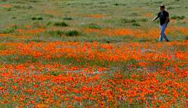 SPRING20_014.jpg_ Finally, it seems like spring has arrived,Steve Grasmick from Porterville Ca walks through the Tehachapi Vista Point area of the 1,745 acre State Poppy Reserve nestled in southern California's Antelope Valley outside of Lancaster Calif Wed. By Lance Iversen/San Francisco Chronicle