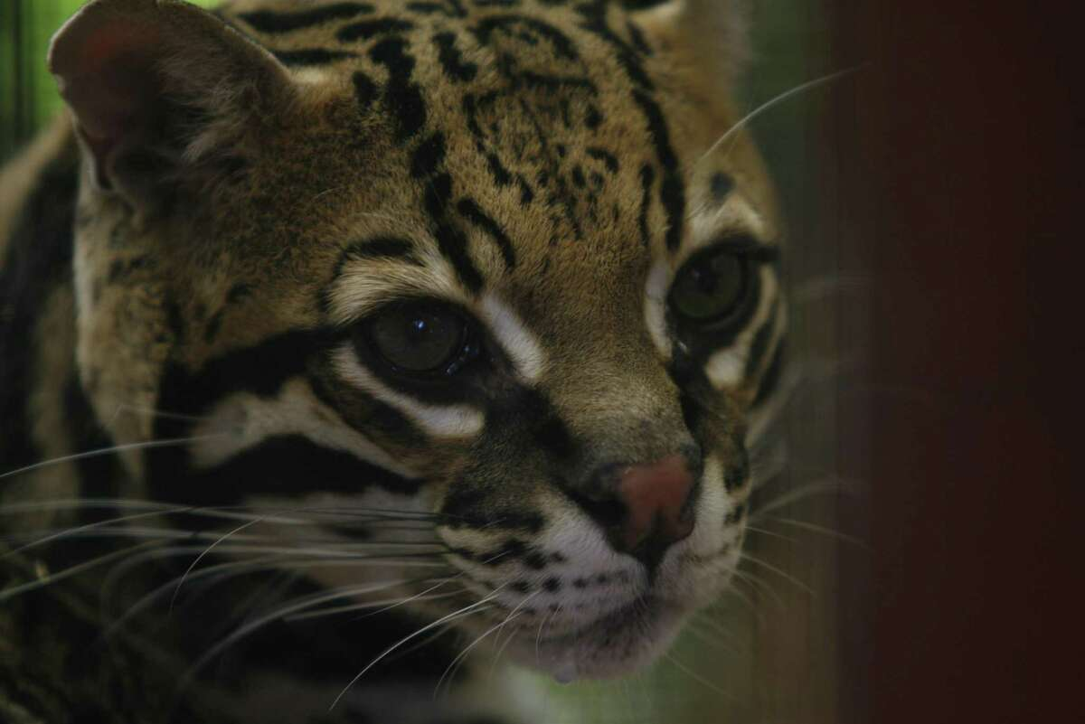 The development of a natural gas pipeline and the Rio Grande LNG export terminal at the Port of Brownsville will not jeopardize the continued existence of the endangered ocelot and jaguarundi, a new report from the U.S. Fish & Wildlife Service says.