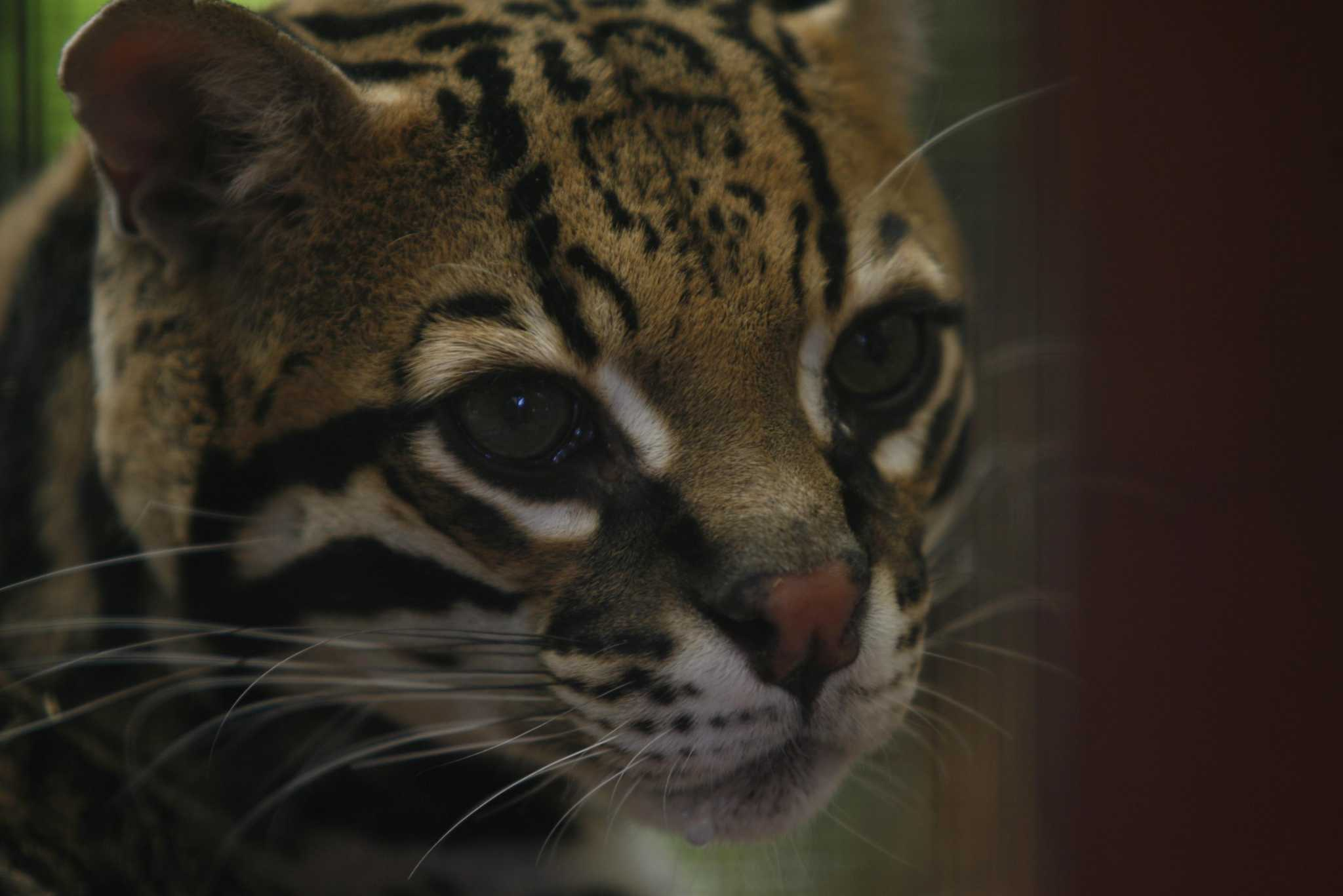 Feds: Rio Grande LNG will not jeopardize survival of endangered ocelot, jaguarundi