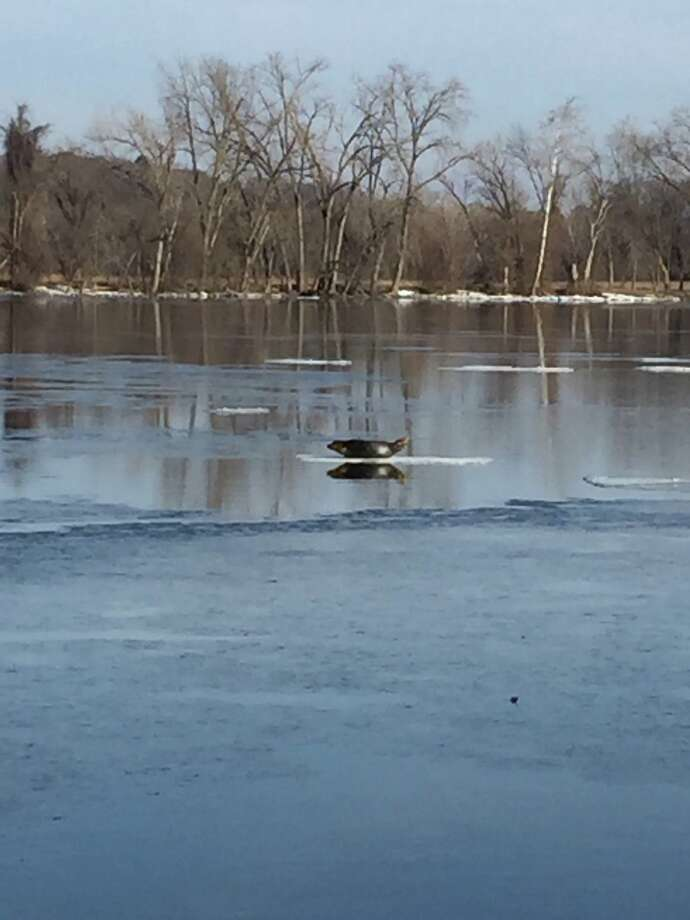 A seal on the Hudson River, as posted on the Village of Castleton-on-Hudson's Facebook page. Photo: Village Of Castleton-on-Hudson On Facebook