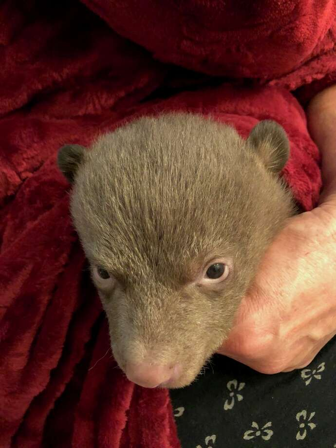 Investigators with the California Department of Fish and Wildlife are trying to find information on how two bear cubs became separated for their mother. Photo: California Department Of Fish And Wildlife