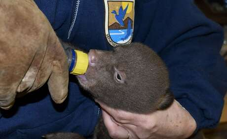 An infant bear cubs feeds from a bottle. Two rescued infant bear cubs were found orphaned in national forest near Yreka in Siskiyou County, were transported by the Department of Fish and wildlife to Lake Tahoe Wildlife Care in South Lake Tahoe.