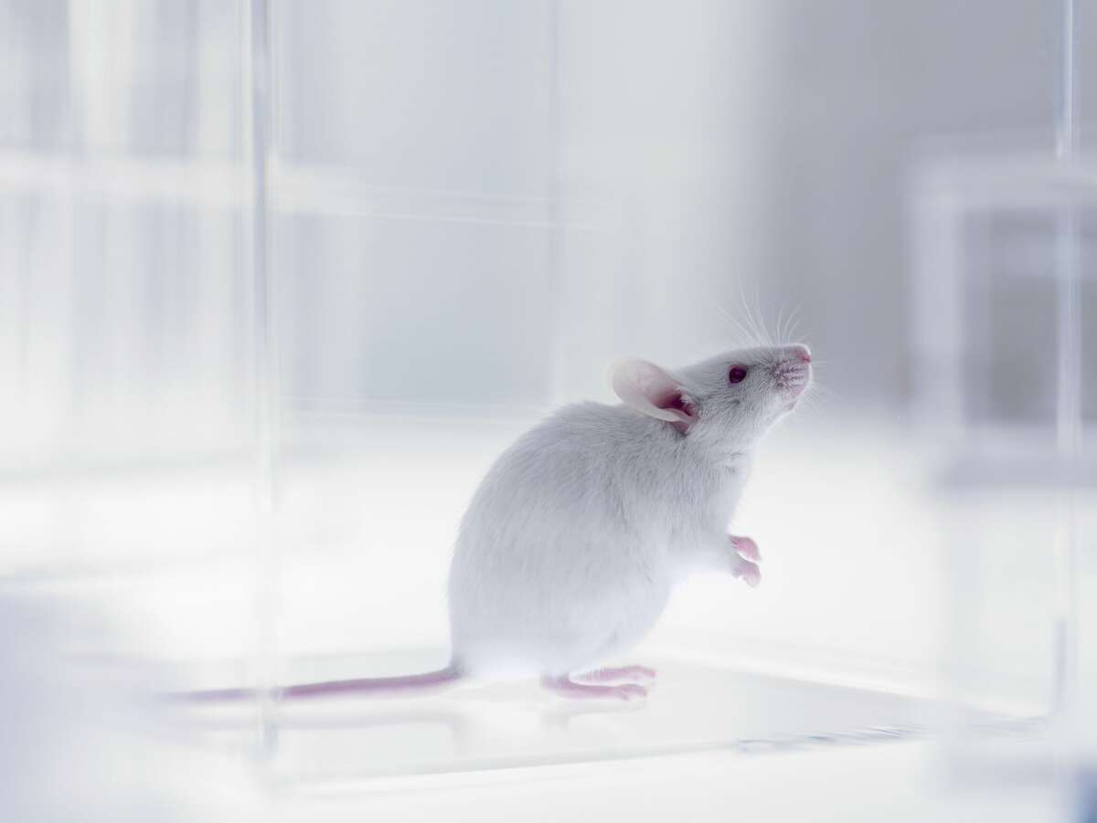 A lab mouse. MiceMice are often used in animal testing, but when the pandemic began, laboratories faced a different problem. With no scientists and lab techs coming to work, the mice were left without anyone to care for them. The solution was to euthanize thousands of mice, presumably so they wouldn't starve to death.