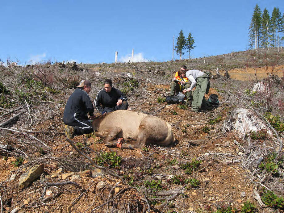 The Fish and Wildlife Service partners with tribes in the Pacific Region to assist with species monitoring and habitat conservation. Here, they tag an elk with a GPS collar to track migration patterns. Photo: U.S. Fish And Wildlife Photo / handout