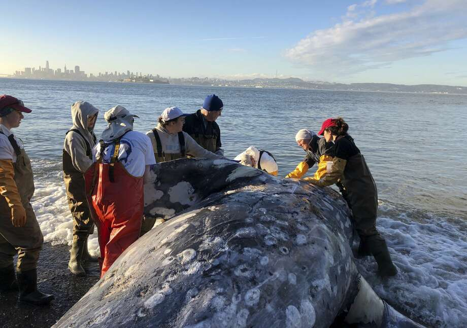In this photo taken Tuesday, March 12, 2019, provided by The Marine Mammal Center, a gray whale carcass is examined by experts from the center and its partners with the California Academy of Sciences at Angel Island State Park, Calif. Marine experts say two dead gray whales were found in the San Francisco Bay this week and that one of them died from severe malnutrition. The Marine Mammal Center in Sausalito said Thursday scientists were unable to determine a cause of death for the other whale. Photo: Cara Field/AP