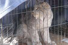 This lynx was captured Sunday morning in eastern Huron County.