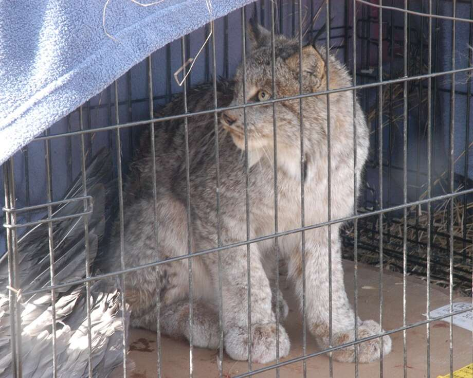 This lynx was captured Sunday morning in eastern Huron County.  Photo: (Photo Courtesy Of Doug Regentin)
