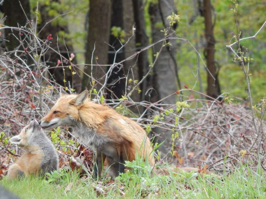 A mother fox and her babies on the grass between the Boys & Girls Club of Ridgefield and the town's municipal parking lot in May 2016. Photo: Kendra Baker
