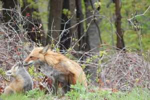 A mother fox and her babies on the grass between the Boys & Girls Club of Ridgefield and the town's municipal parking lot in May 2016.