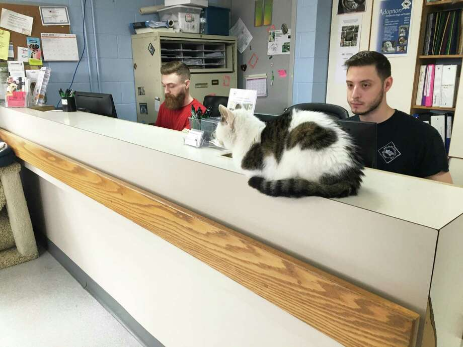 Aarron Pratt and Mike Almedia, staff members at the New Milford Animal Welfare Society, sit at the reception desk with unofficial greeter, Vina the cat. The reception will be enlarged as part of the renovation project breaking ground on April 2, 2019. Photo: Katrina Koerting / Reporter / The News-Times