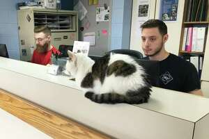 Aarron Pratt and Mike Almedia, staff members at the New Milford Animal Welfare Society, sit at the reception desk with unofficial greeter, Vina the cat. The reception will be enlarged as part of the renovation project breaking ground on April 2, 2019.
