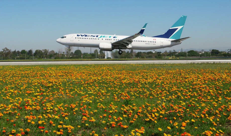 """Southern California's wildflower """"super bloom"""" even covers Los Angeles International. Photo: Los Angeles World Airports"""