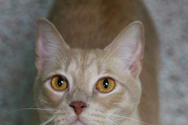 Taylor is a 2-year-old, male, Orange Tabby DSH and is ready to be adopted from Houston Humane Society. (Animal ID: 41041685) Photographed Tuesday, March 19, 2019, in Houston. Taylor is a little bit shy, but likes to be brushed and sit in your lap.