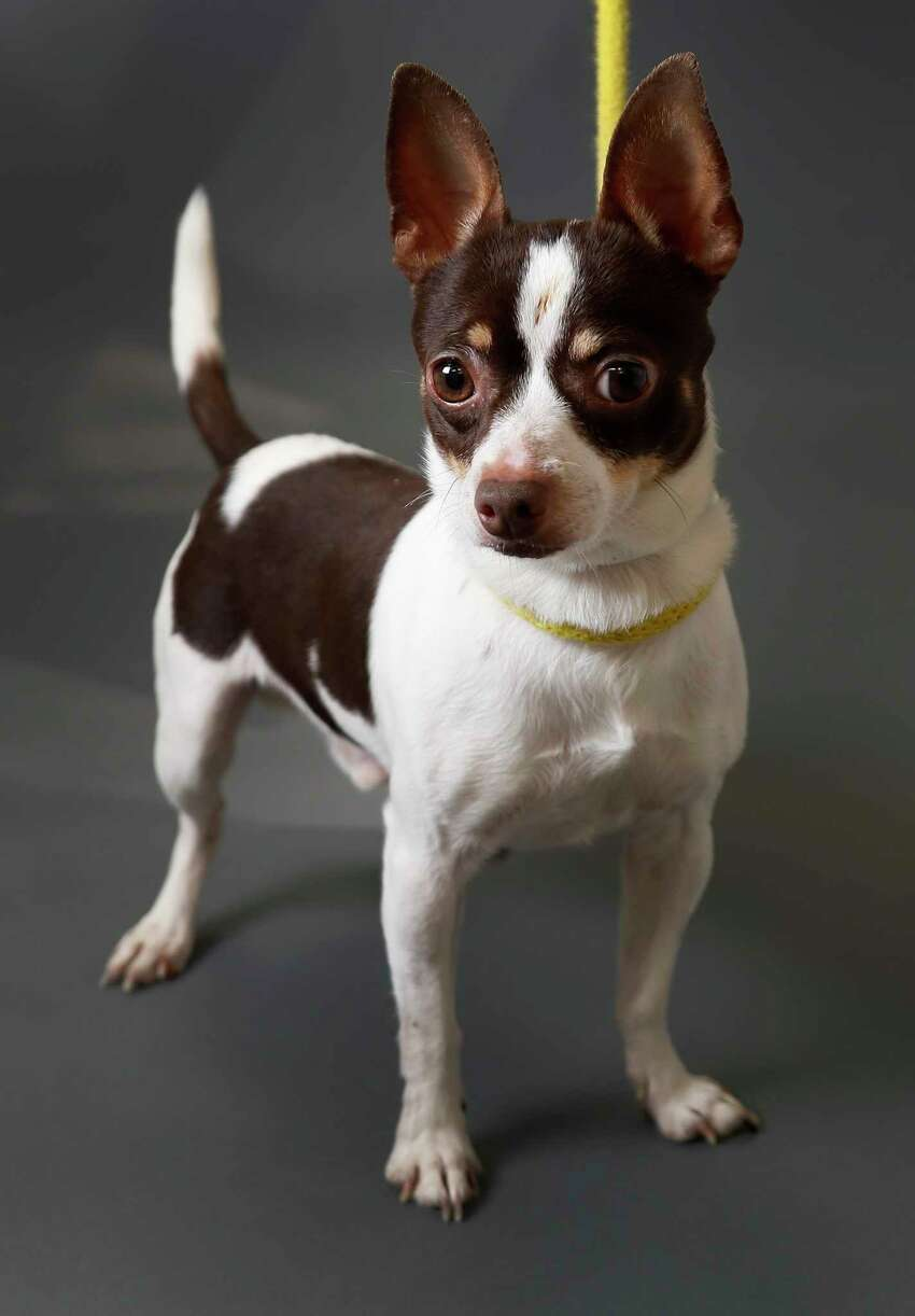 Raider is a 3-year-old, male, Chihuahua mix and is ready to be adopted from Houston Humane Society. (Animal ID: 40785682) Photographed Tuesday, March 19, 2019, in Houston. Raider is friendly and easy-going, and is a VIP and currenly 30% off because he has been in the shelter more than 30 days.