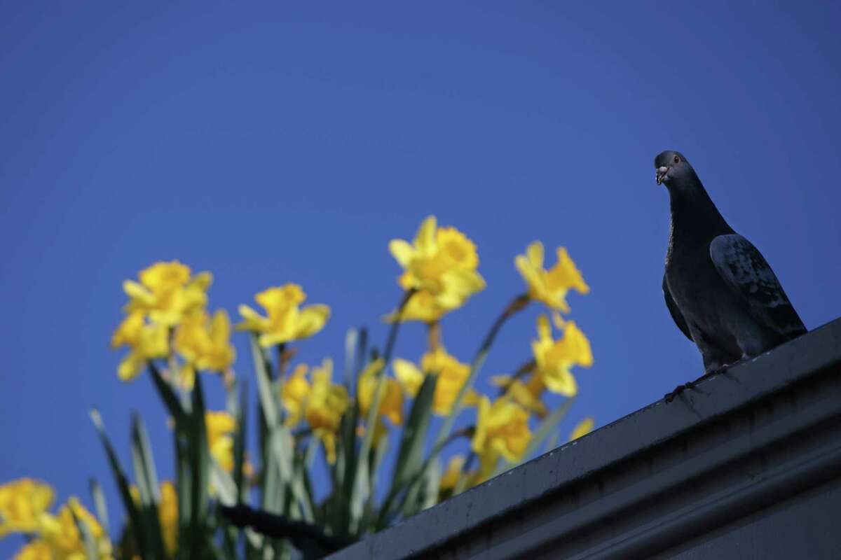 A pigeon rests near daffodils at Pike Place Market, Tuesday, as temperatures reached 79 degrees, the warmest March day in Seattle on record, Mar. 19, 2019.