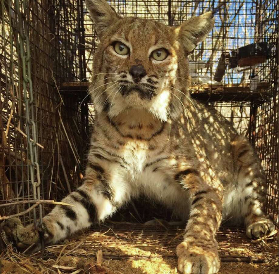 A bobcat that survived the Woolsey Fire was hit and killed by a car. Photo: Santa Monica Mountains National Recreation Area