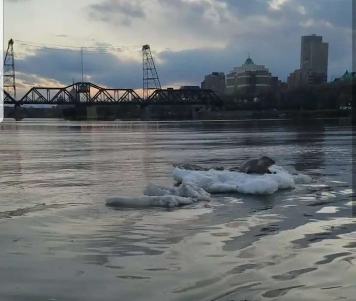 The harp seal was spotted on an ice floe Monday, March 18, 2019, on the Hudson River in Albany, according to the state Department of Environmental Conservation.