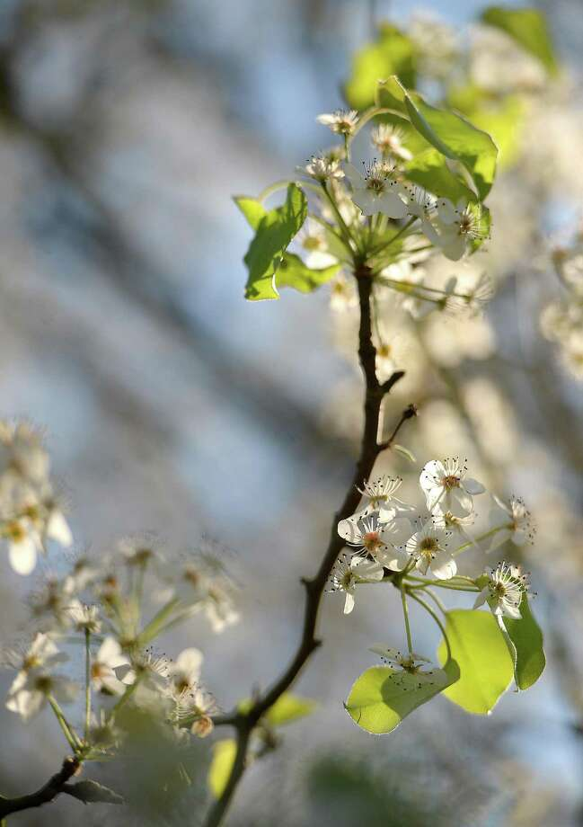 Trees are beginning to blossom in downtown Beaumont as spring officially begins, despite a slow start with unseasonably colder temperatures and higher precipitation.