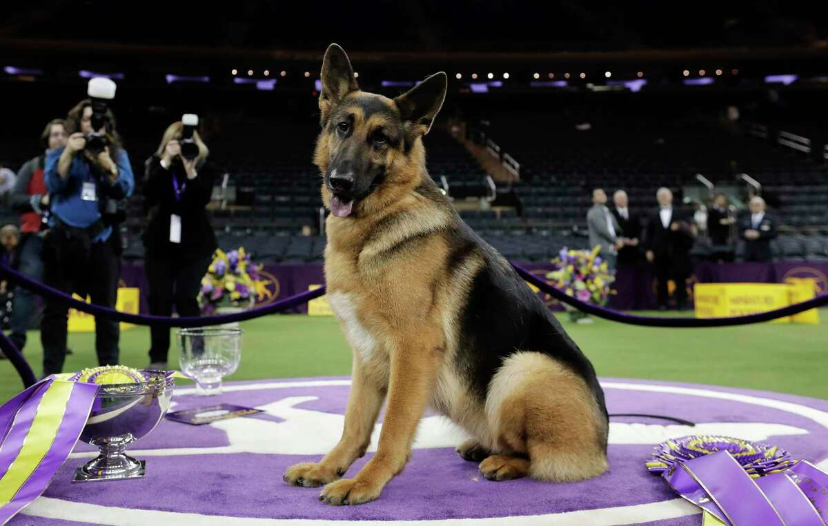 FILE - In this Feb. 15, 2017, file photo, Rumor, a German shepherd, poses for photos after winning Best in Show at the 141st Westminster Kennel Club Dog Show, in New York. The American Kennel Club's second most popular U.S. full bred dog for 2018 is the German shepherd.
