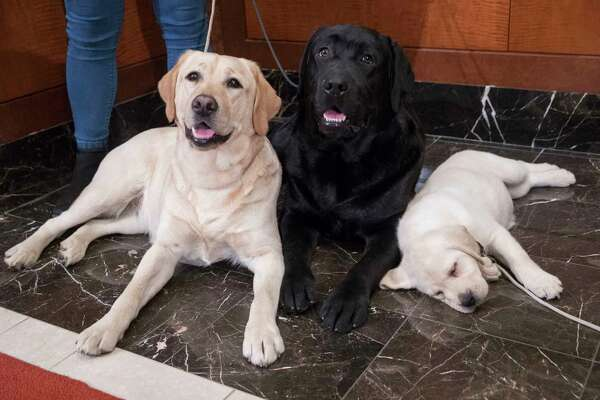 FILE- In this March 28, 2018 file photo, Labrador retrievers Soave, 2, left, and Hola, 10-months, pose for photographs as Harbor, 8-weeks, takes a nap during a news conference at the American Kennel Club headquarters in New York. The Labrador retriever is the American Kennel Club's most popular U.S. purebred dog of 2018. Labs topped the list for the 28th year in a row.