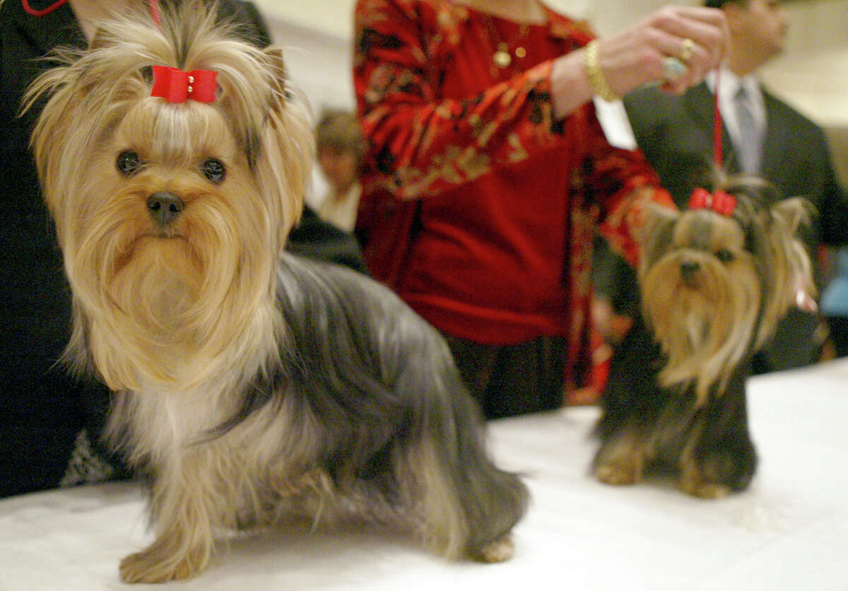 Click ahead to view the top 10 most popular dog breeds, according to new American Kennel Club data. 10. Yorkshire terrier