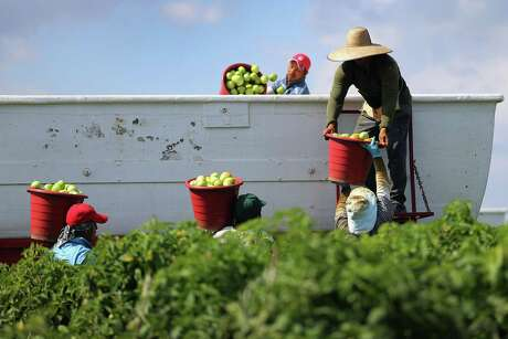 This 2013 photo shows workers filling a trailer with tomatoes in Florida City, Florida. The U.S. and Mexico had just reached a tentative agreement on cross-border trade in tomatoes, providing help for the Florida growers who said the Mexican tomato growers were dumping their product on the U.S. markets. (Photo by Joe Raedle/Getty Images)